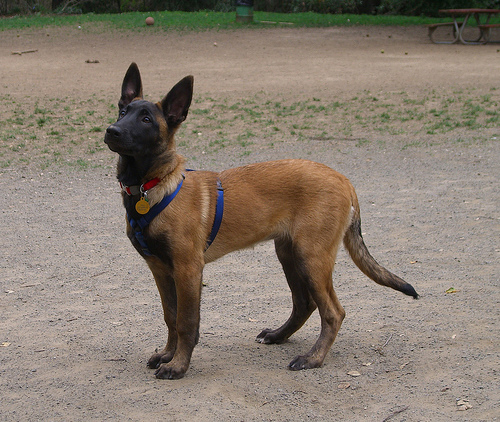 BREED DESCRIPTION AND CHARACTERISTICS OF A BEGIAN MALINOIS(MAL-IN-WAH ...
