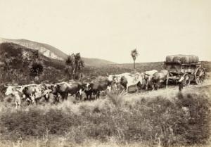 Bullock_Team_Wool_Wagon