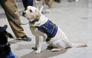 Selah, a 23-month-old yellow Labrador retriever, listens during service dog training at the Operation Freedom Paws' training facility in Gilroy, Calif., on February 12, 2014. (Josie Lepe/Bay Area News Group/MCT)